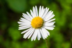 White common daisy bellis perennis against green background. White common daisy bellis perennis against blurred green background Royalty Free Stock Image