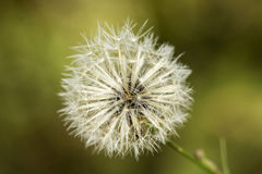 White common dandelion blowballs - taraxacum officinale Stock Image