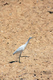 A white common heron Royalty Free Stock Photography