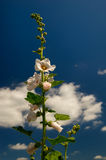 White Common Hollyhock Stock Images