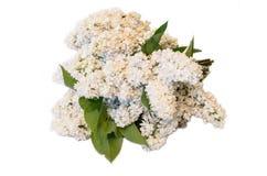 White common lilac (syringa) bouquet isolated on white backgroun Royalty Free Stock Photography