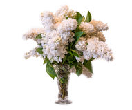 White common lilac (syringa) in vase isolated on white backgroun Stock Image