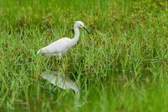 White common little egret egretta garzetta. On green grass background stock photo