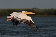 White common pelican flying over the lake Royalty Free Stock Images