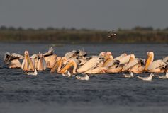 White common pelicans feeding on the Nebunu lake Stock Image
