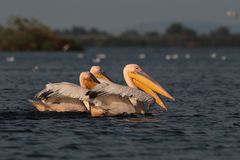 White common pelicans feeding on the Nebunu lake Royalty Free Stock Images
