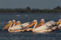 White common pelicans feeding on the Nebunu lake Royalty Free Stock Photography