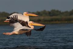 White common pelicans flying over the lake Stock Photos