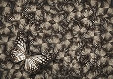 White common tiger butterfly, White monarch butterfly background. White common tiger butterfly , Danaus Genutia , monarch butterfly background Stock Image