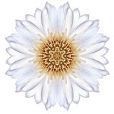 White Concentric Cornflower Mandala Flower Isolated on Plain Stock Images