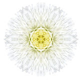 White Concentric Gerber Daisy Mandala Flower Isolated on Plain Royalty Free Stock Photography