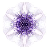 White Concentric Mandala Morning Glory Flower Isolated on Plain Royalty Free Stock Image