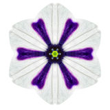 White Concentric Morning Glory Mandala Flower Isolated on Plain Royalty Free Stock Photos