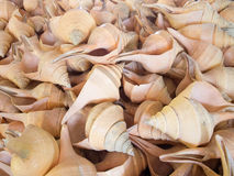 White conch shell Stock Photo