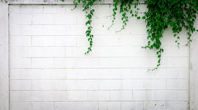 White concrete wall with creeper plants Stock Image
