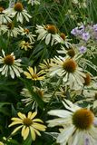 White cone flower echinacea. In the garden stock photo
