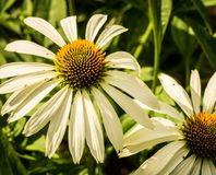 White Coneflowers Stock Photo