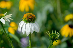 White coneflowers in garden with copy space Stock Photos