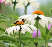 White Coneflowers. Group of white coneflowers with two bees Stock Photography