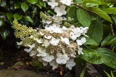 White conical hydrangea flower. Stock Images