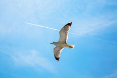 White contrail trace of plane and  seagull on blue Royalty Free Stock Image