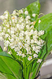 White Convallaria flowers, bouquet with green leafs, close up Royalty Free Stock Images