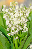 White Convallaria flowers, bouquet with green leafs, close up Stock Photography