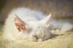 White coon kitten sleeps Royalty Free Stock Images