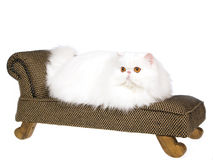 White copper eyed Persian on brown couch Royalty Free Stock Photo