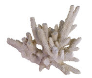 White Coral Stock Photography