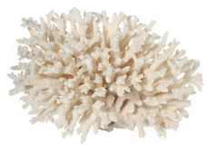 White coral. Isolated piece of white coral Stock Image