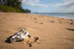White coral on the sand at the beach in Maui Stock Images