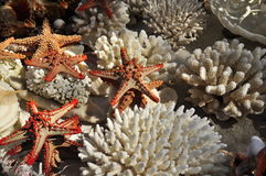 White coral sea stars and other marine life. White coral endangered species and marine life from Mozambique, Africa Stock Images