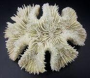 White Coral Skeleton. White brain coral (lobophyllia) skeleton isolated on black background Royalty Free Stock Photo