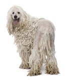 White Corded standard Poodle Stock Photography