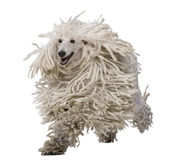 White Corded Standard Poodle running Royalty Free Stock Image
