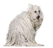 White Corded standard Poodle sitting Royalty Free Stock Images