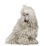 White Corded standard Poodle sitting Royalty Free Stock Photo