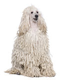 White Corded standard Poodle sitting Royalty Free Stock Image
