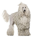 White Corded standard Poodle standing royalty free stock image