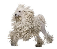 White Corded standard Poodle walking Stock Photo