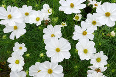 White  coreopsis flowers Royalty Free Stock Images