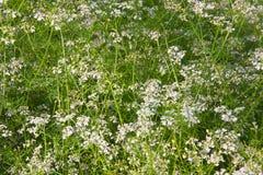 White coriander flowers Stock Image