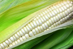 White corn Royalty Free Stock Photo