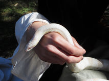 White Corn Snake Royalty Free Stock Photo