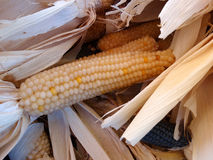 White corn, Zea mays. Cultivar with white hard grains, used as boiled sweet corn and corn flour Royalty Free Stock Image
