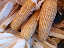White corn, Zea mays. Cultivar with white hard grains, used as boiled sweet corn and corn flour Stock Photography