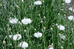 White cornflower on a background of green grass stock photo