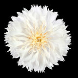 White Cornflower Flower Isolated on Black Background Royalty Free Stock Photo