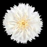 White Cornflower Flower Isolated on Black Background royalty free stock photo